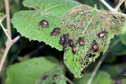Japanese Beetles will wreak havoc and may eventually kill your trees!  BHLCo can stop them BEFORE they become a problem!