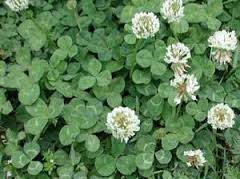 White Clover Hudson Wi Lawn Care Services