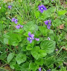 Wild Violet2